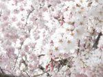 満開に咲く桜
