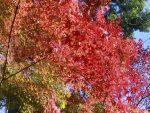 赤と黄色のコントラストがキレイな紅葉